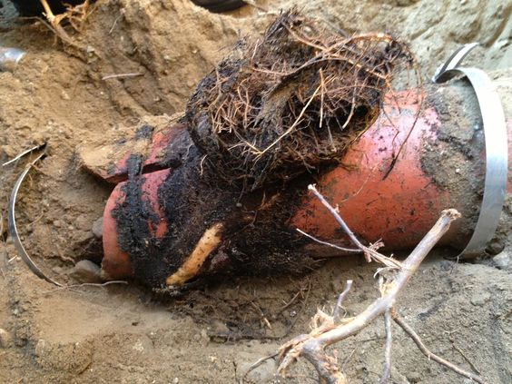 Roots busted sewer line